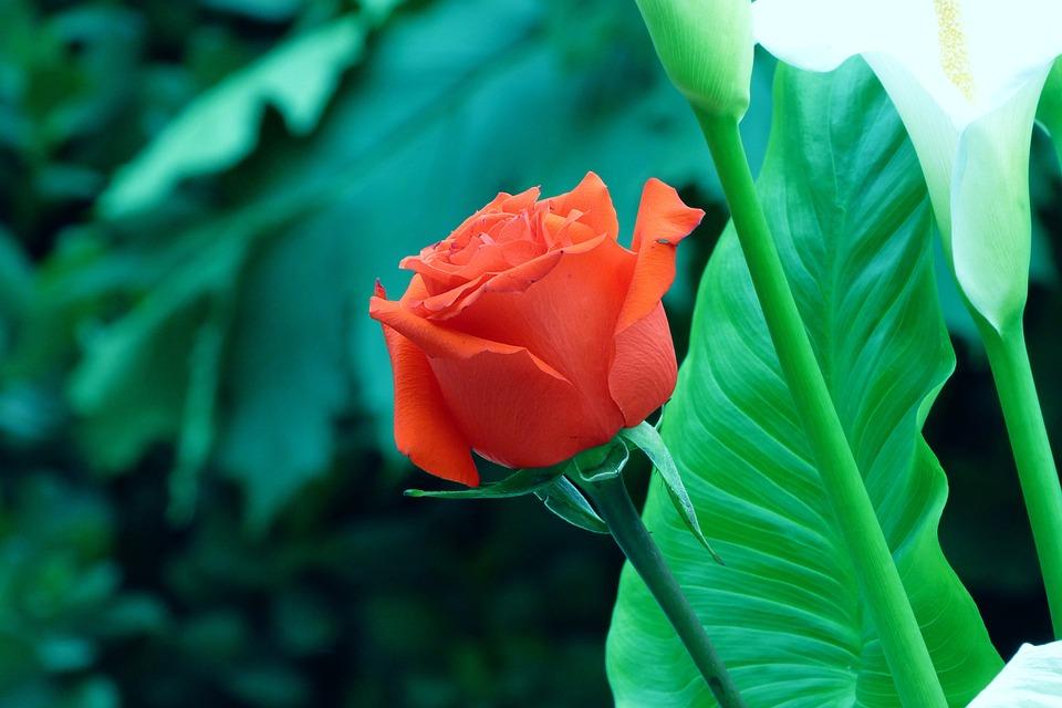 Rosa, Flower, Red Flower, Red Rose, Petals, Nature