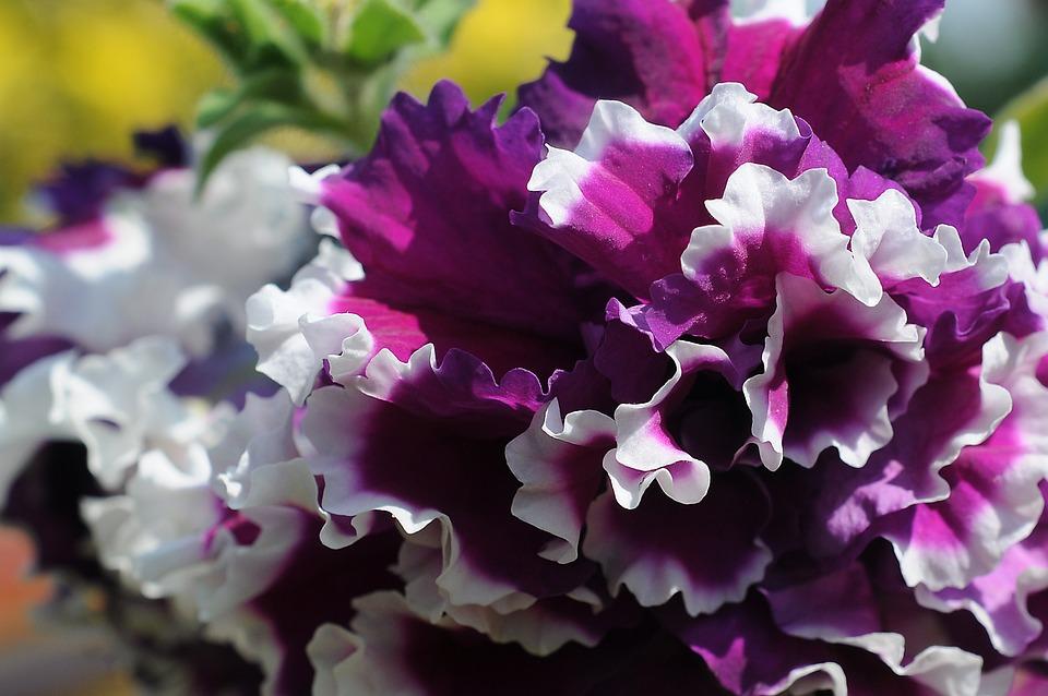Petunia, Flower, Bloom, Blossom, Petals, Petunia Petals
