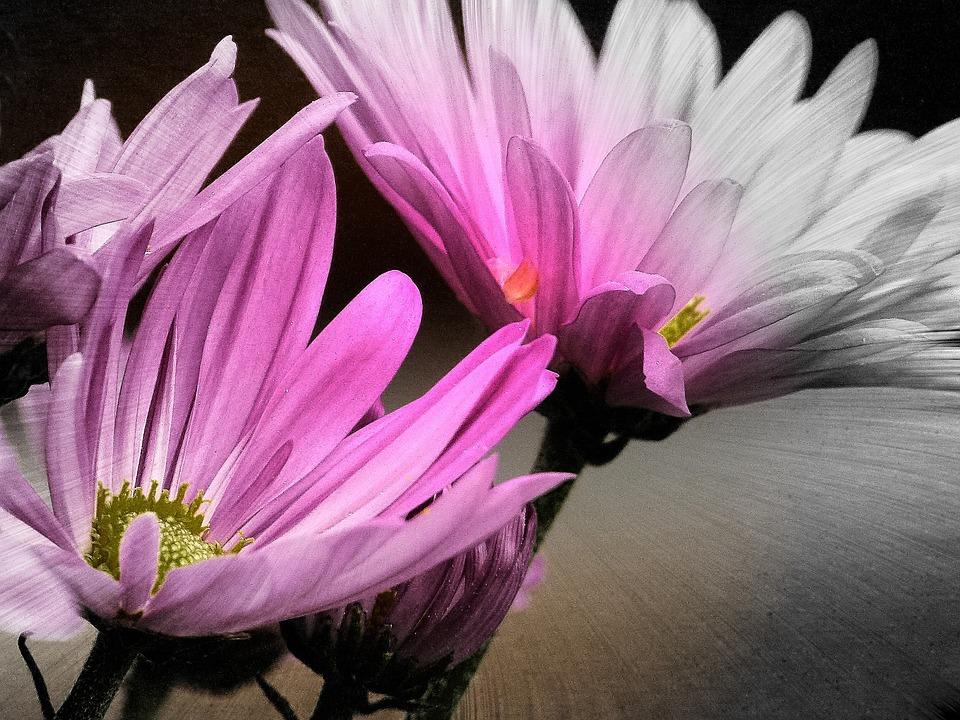 Aster, Flower, Close-up, Garden Summer, Pink, Rosa