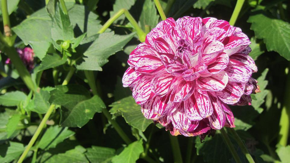 Dahlia, Flower, Blossom, Bloom, Pink, Marbled, White
