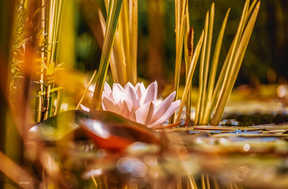 Water Lily, Aquatic Plant, Flower, Blossom, Bloom, Pink