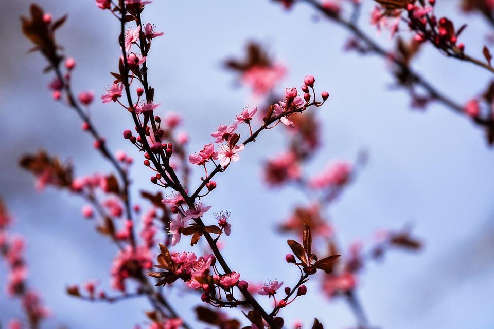 Cherry Tree, Cherry Blossom, Flower, Pink, Bough