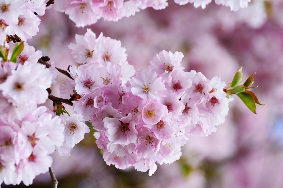 Cherry Blossoms, Tree Blossoms, Pink, Flower