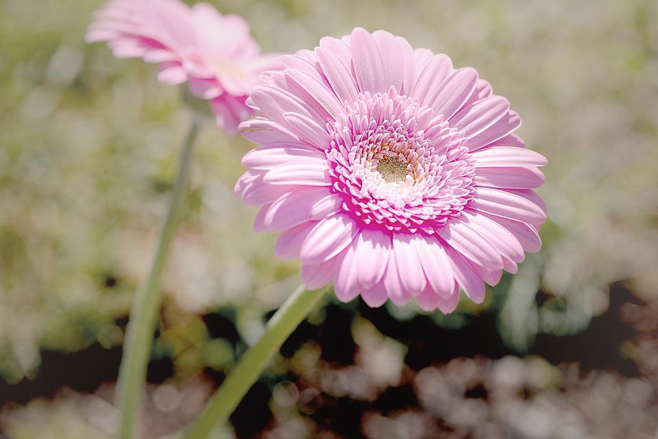 Marguerite, Pink, Pink Daisies, Flower, Pink Flower