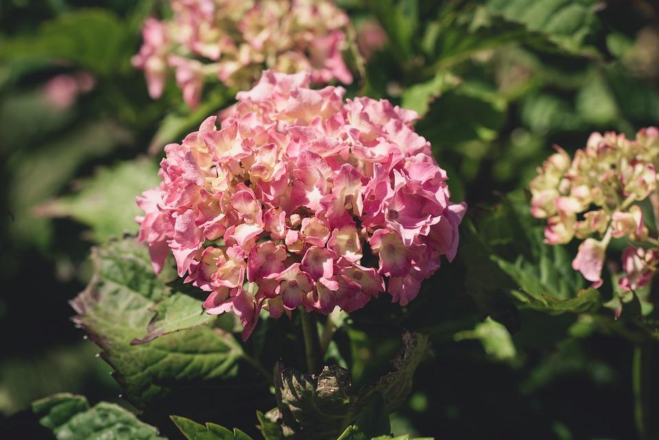 Flower, Flowers, Pink, Dusky Pink, Garden, Nature