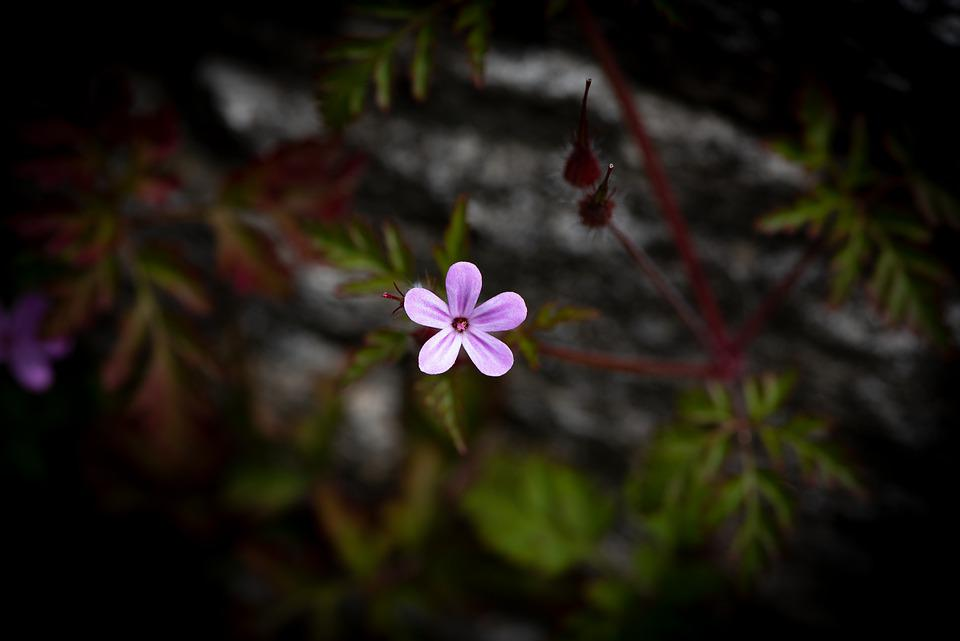 Flower, Blossom, Bloom, Pink Flower, Small Flower