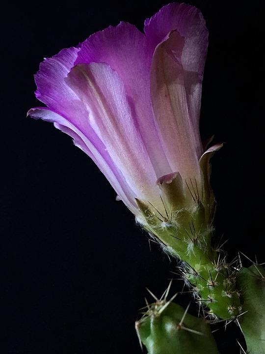 Cactus, Pink Flower, Thorns, Pimpollo, Flower, Plant