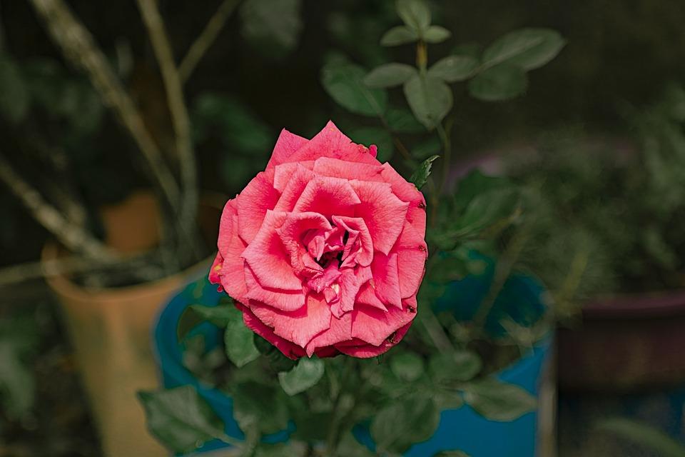 Rose, Flower, Pink Rose, Pink Flower, Petals