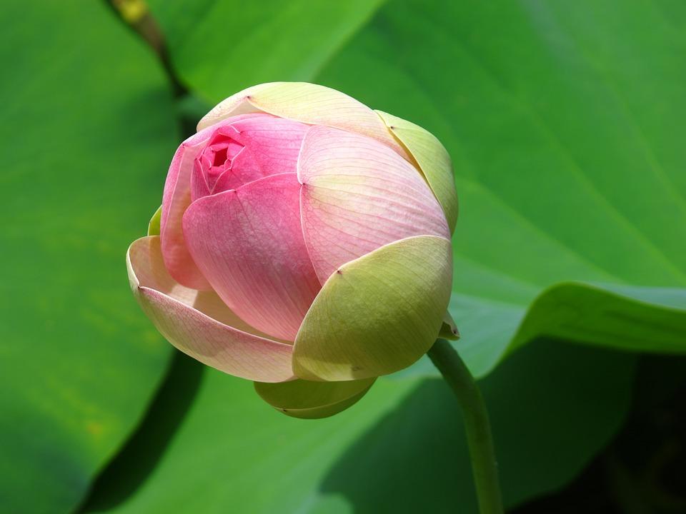 Lotus, Flower, Bud, Petals, Water Lily, Pink Flower