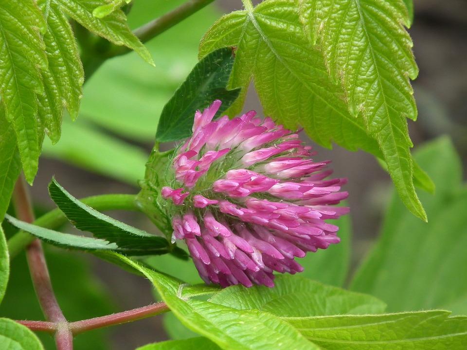 Flower, Bloom, Pink, Flowers, Clover, Summer, Leaves