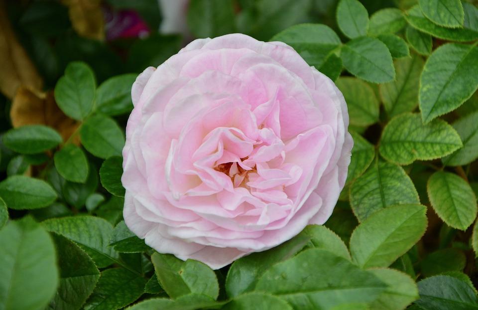 Flower, Plant, Pink, Pink Flowers, Flora, Floral