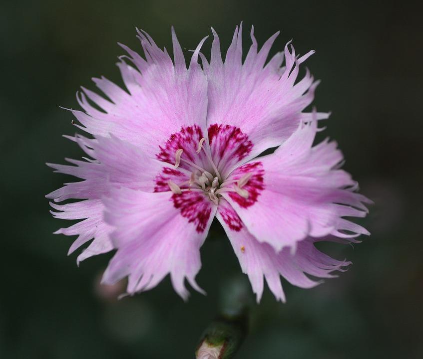 Flower, Pink, œillet, Garden, Pink Flowers, Nature