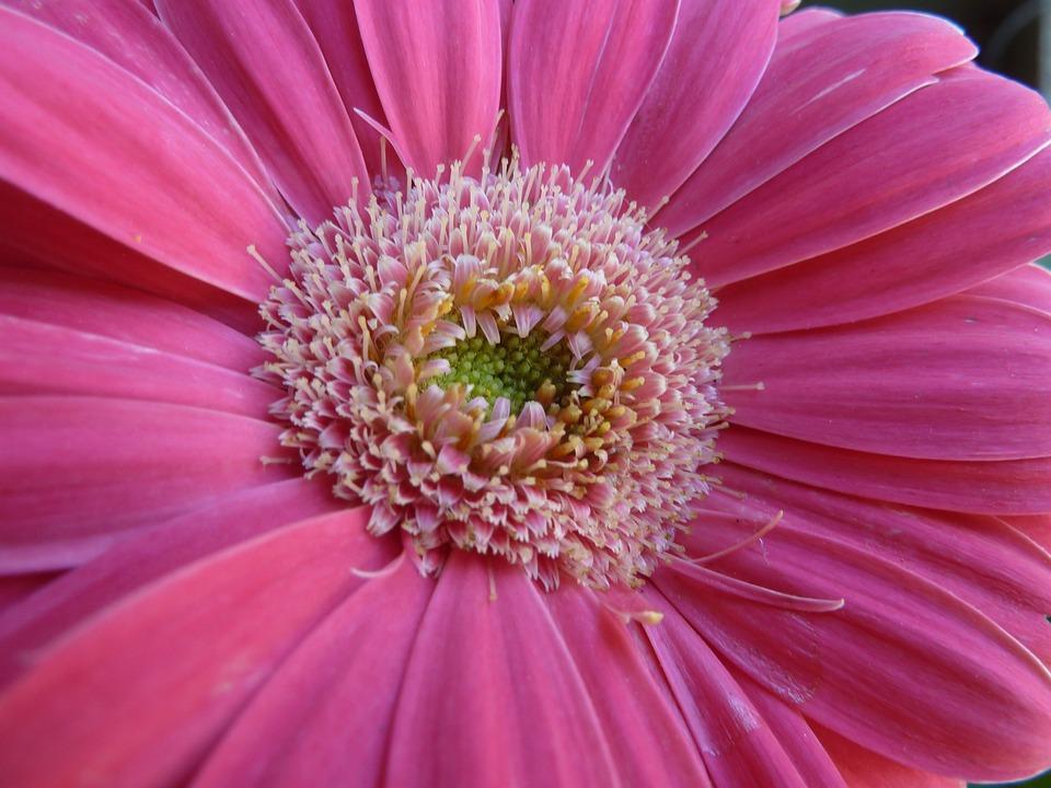 Gerbera, Daisy, Pink, Flower