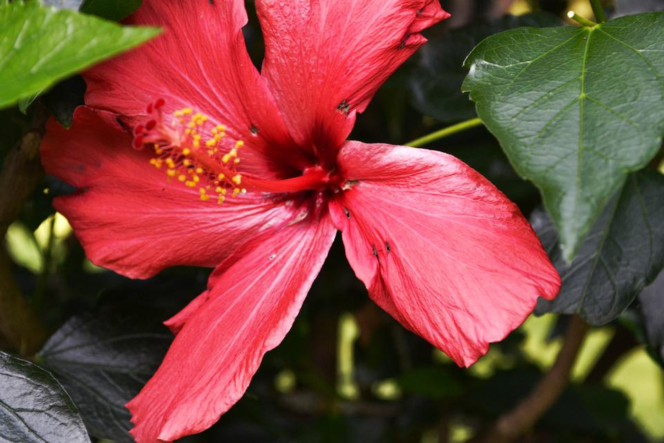 Free photo flower pink hibiscus bloom plant mallow blossom max pixel hibiscus pink blossom bloom flower plant mallow mightylinksfo