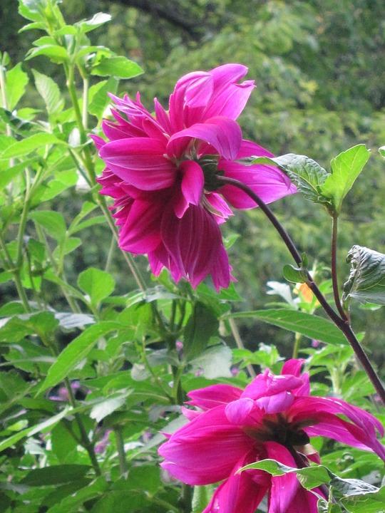 Flower, Pink, Fuschia, Greenery, Nature, Garden