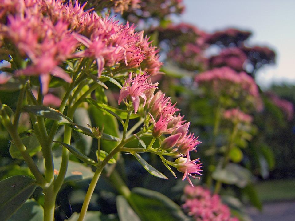 Flower, Pink, Stonecrop, Nature