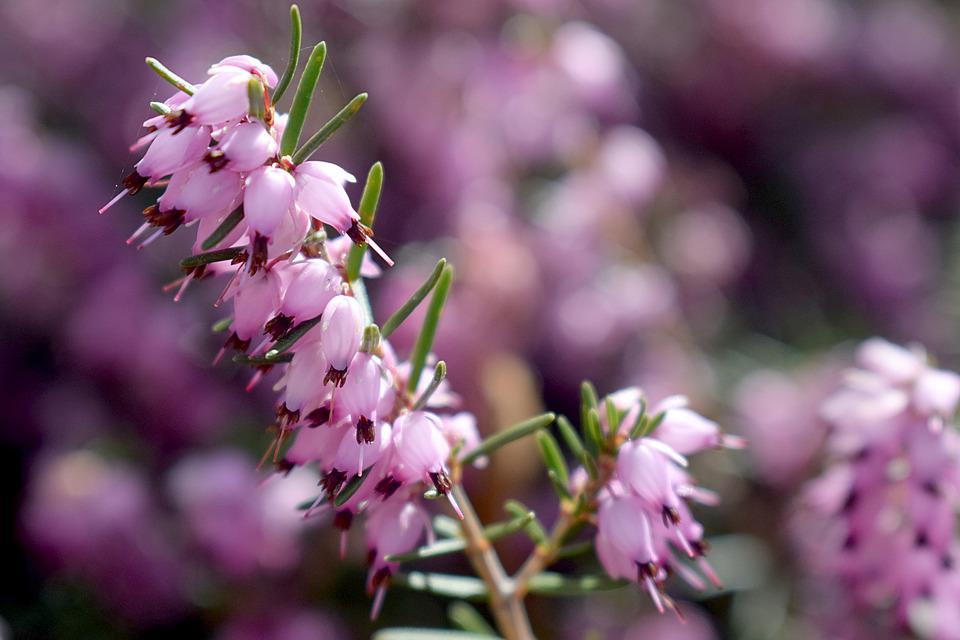 Flower, Nature, Outdoors, Flora, Heather, Pink, Violet