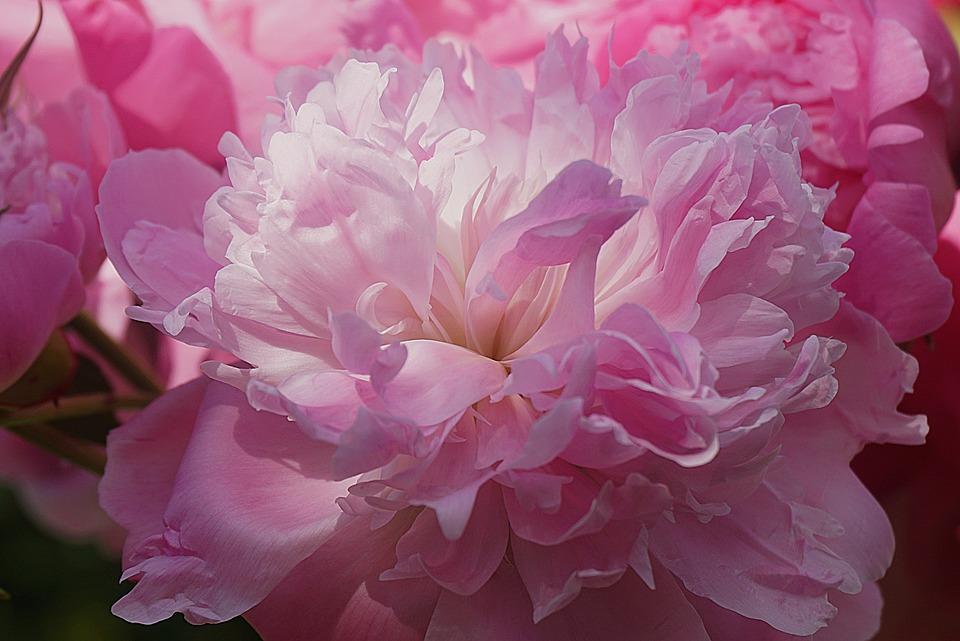 Peony, Flower, Pink, Garden, Nature, The Petals, Plant