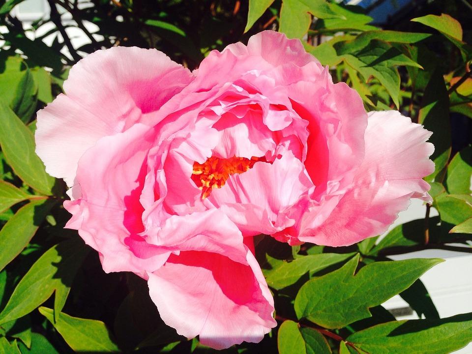 Flower, Pink, Peony, Rose