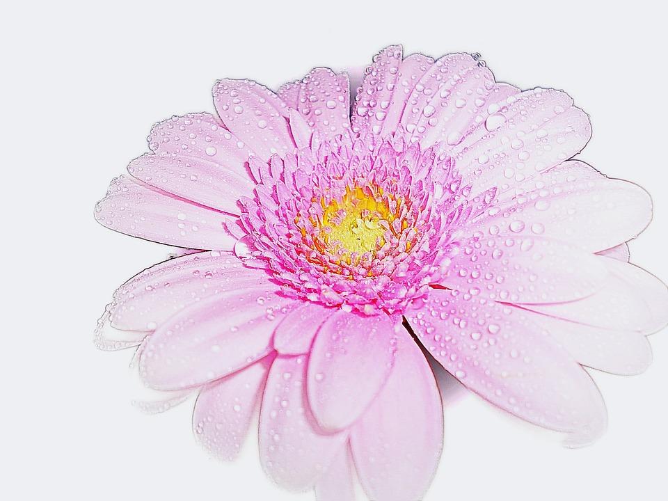 Pink, Gerbera, Flower, Romantic, Fragrance, Nature