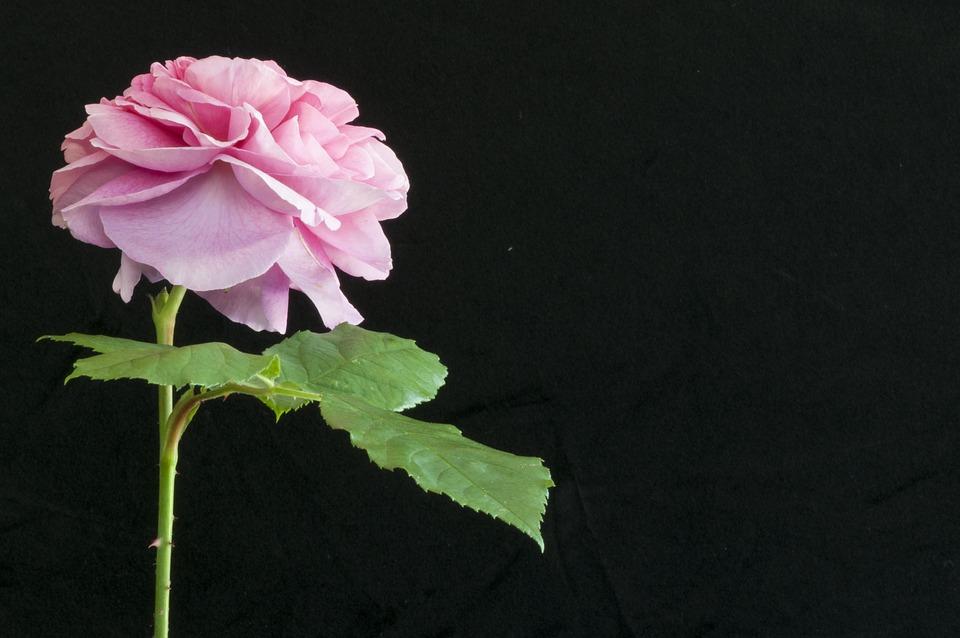 Pink Rose, Garden, Petals, Pink, Rose, Flower, Nature