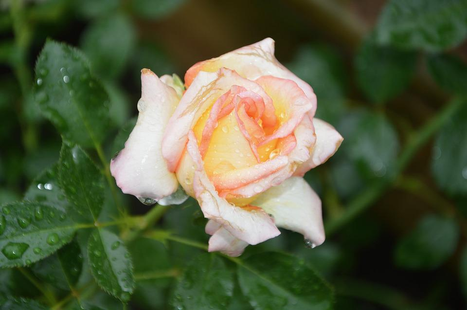 Flower, Flowers, Pink, Rosebush, Green Foliage