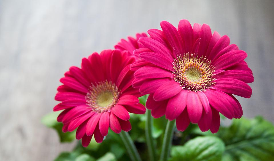 Flower Spring Summer Gerbera Beautiful Pink