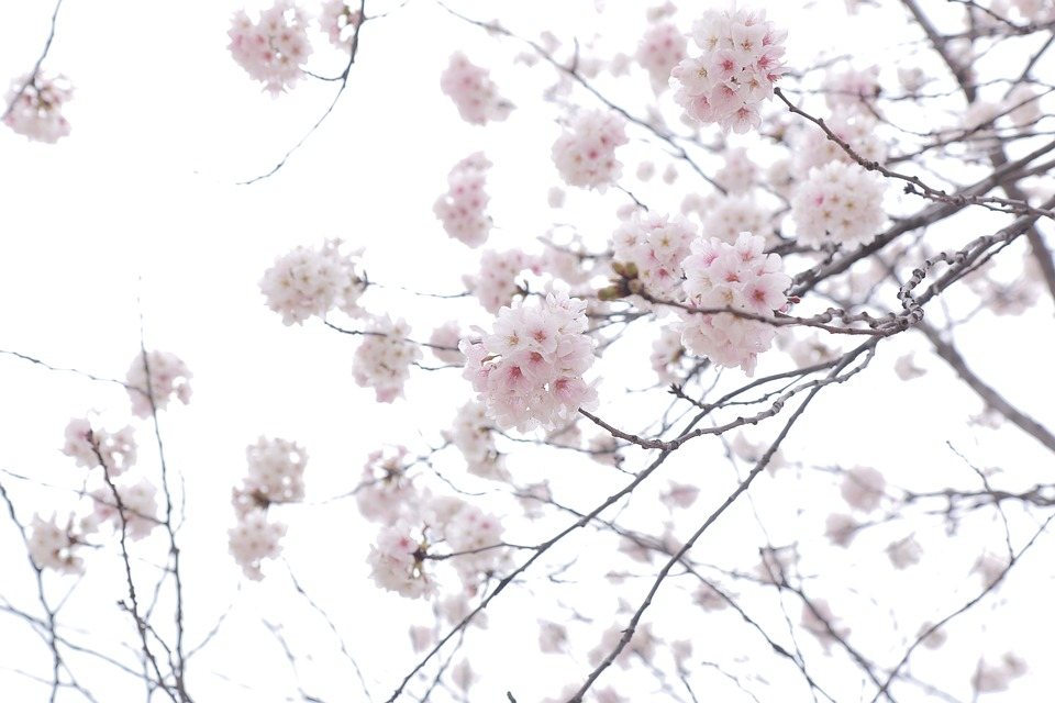 Flower, Cherry Blossom, Spring, Pink, Tree