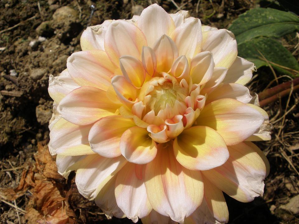 Flower, Yellow, Pink, Dahlia, Summer