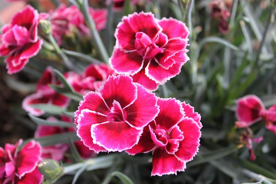 Free Photo Flower Pink White Edge Garden Dianthus