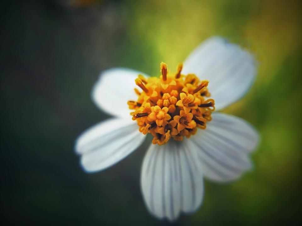 Flower, Iris, Bloom, Blossom, Pistil, Stamen, Plant