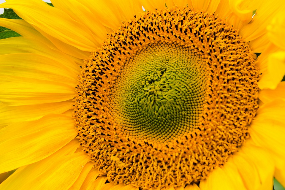 Sunflower, Flower, Pollen, Pistils, Yellow Flower