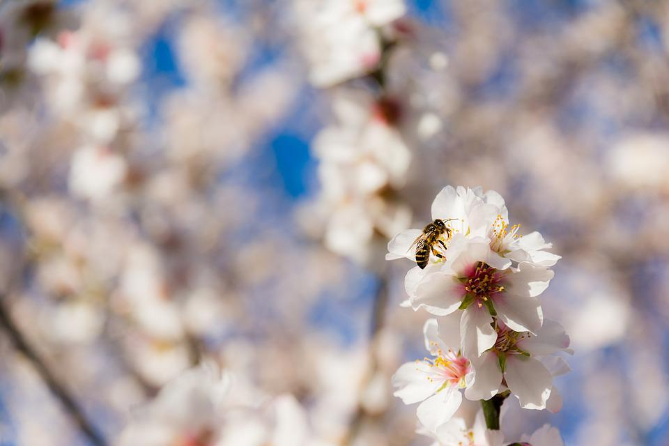 Nature, Flower, Season, Tree, Plant, Almond Blossom
