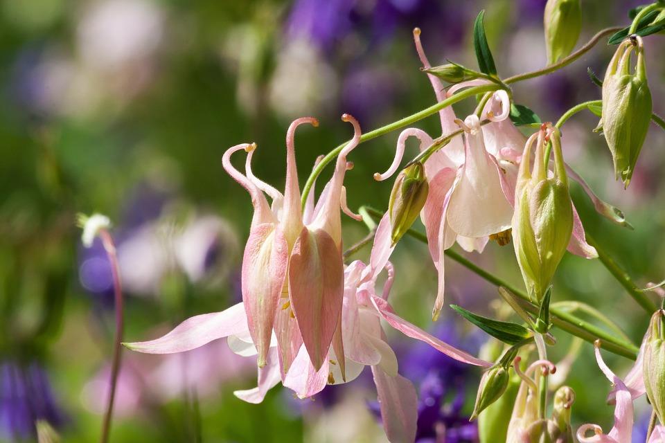 Columbine, Flower, Blossom, Bloom, Plant, Pink, Blue