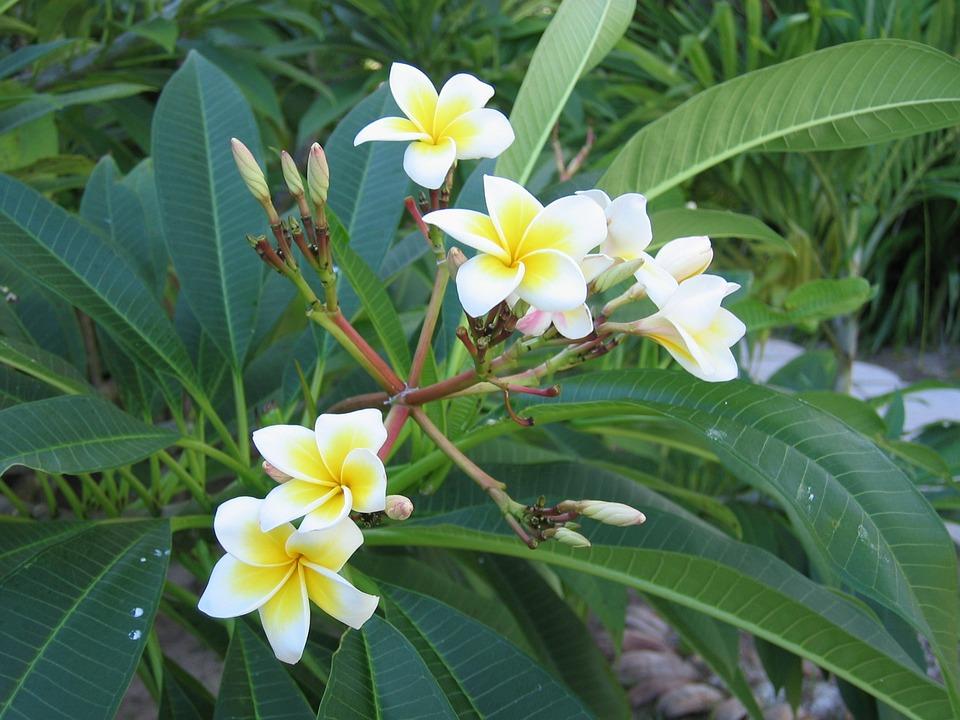 Frangipani, Flowers, Plant, Blossom, Bloom, Flower