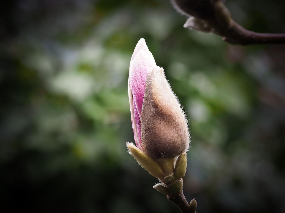Magnolia, Flower, Blossom, Bloom, Spring, Pink, Plant