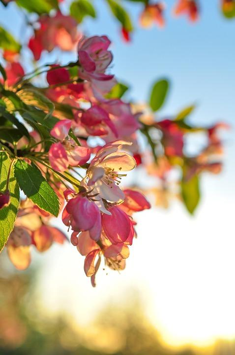 Flower, Light, Blossom Tree, Pink, Nature, Plant