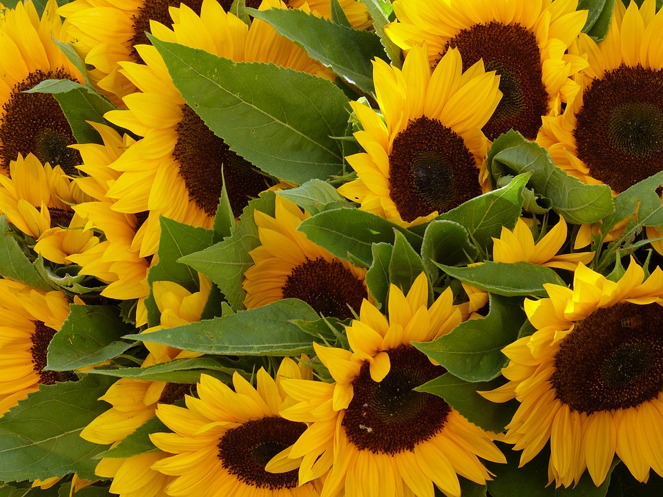 Sun Flower, Flower, Plant, Yellow, Nature, Blossom