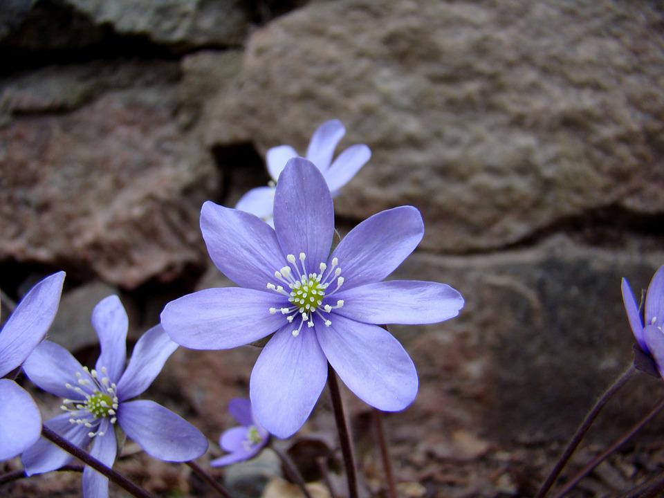 Blue Anemone, Flower, Plant, Our Characters, Nature