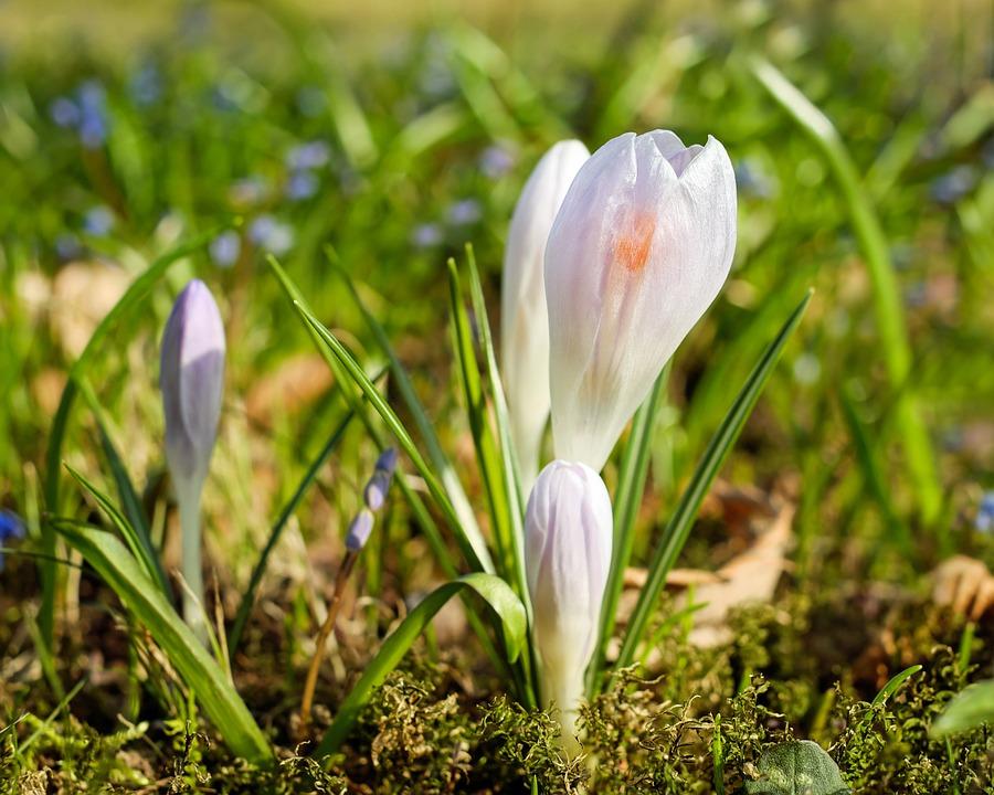 Crocus, Flower, Bloom, Spring, Cold, Frost, Plant
