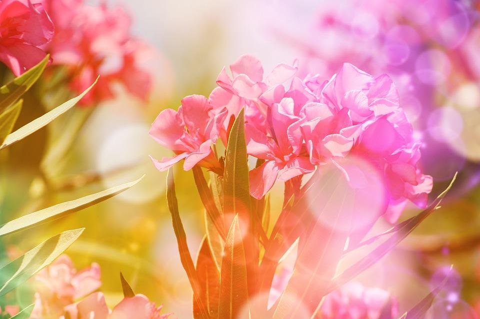 Flower, Plant, Bush, Mediterranean, Leander, Cyclamen