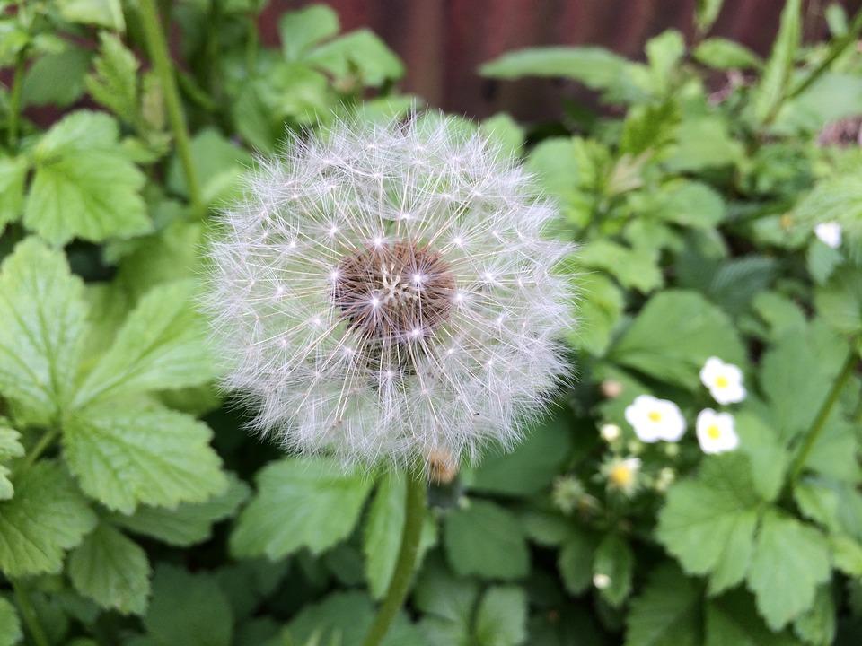 Plant, Flower, Dandelion