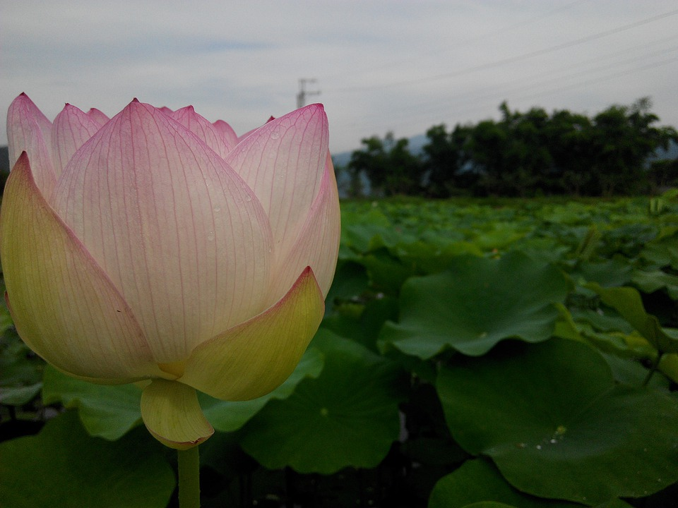 Flower, Lotus, Park, Fresh Bright, Flower Wall, Plant