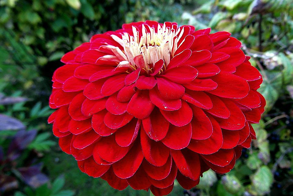 Zinnia, Flower, Red, Garden, Nature, Plant, The Petals
