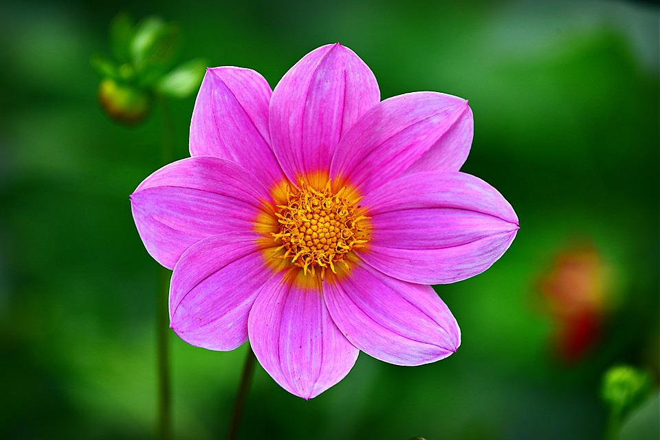 Cosmea, Flower, Plant, Petal, Heart, Summer