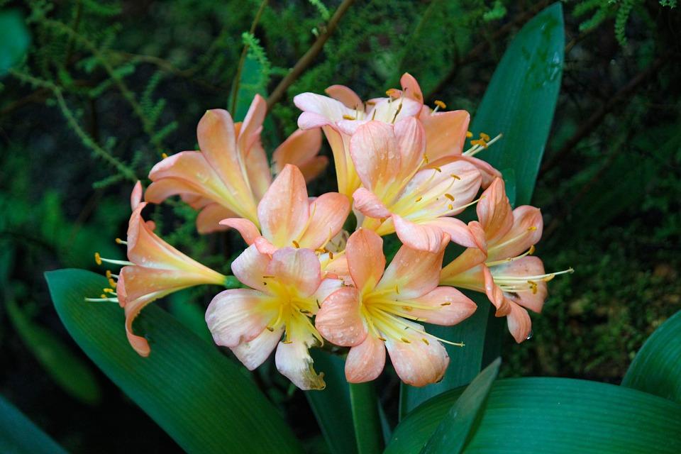 Hvězdník, Amaryllis, Flower, Plant, Pink, Flora