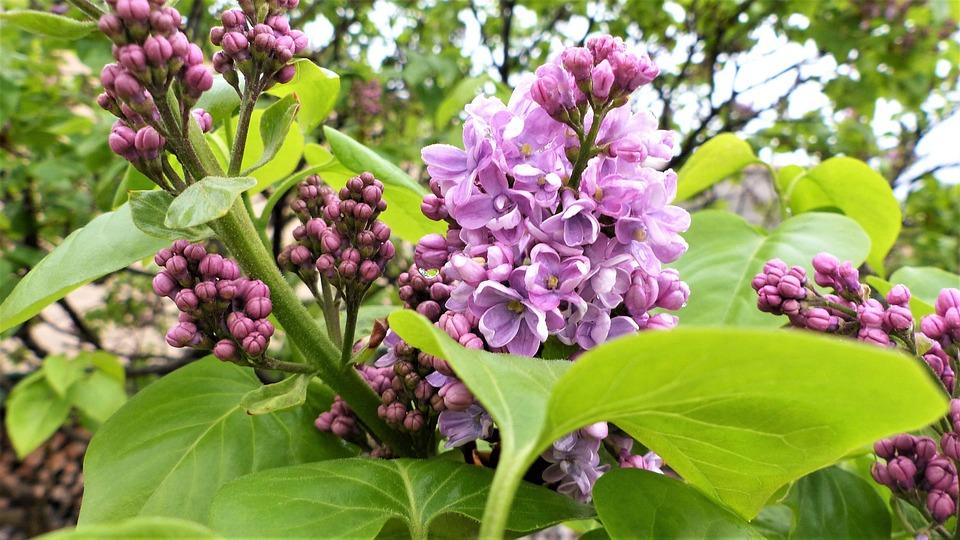 Flower, Nature, Plant, Leaf, Garden, Lilac, Petal