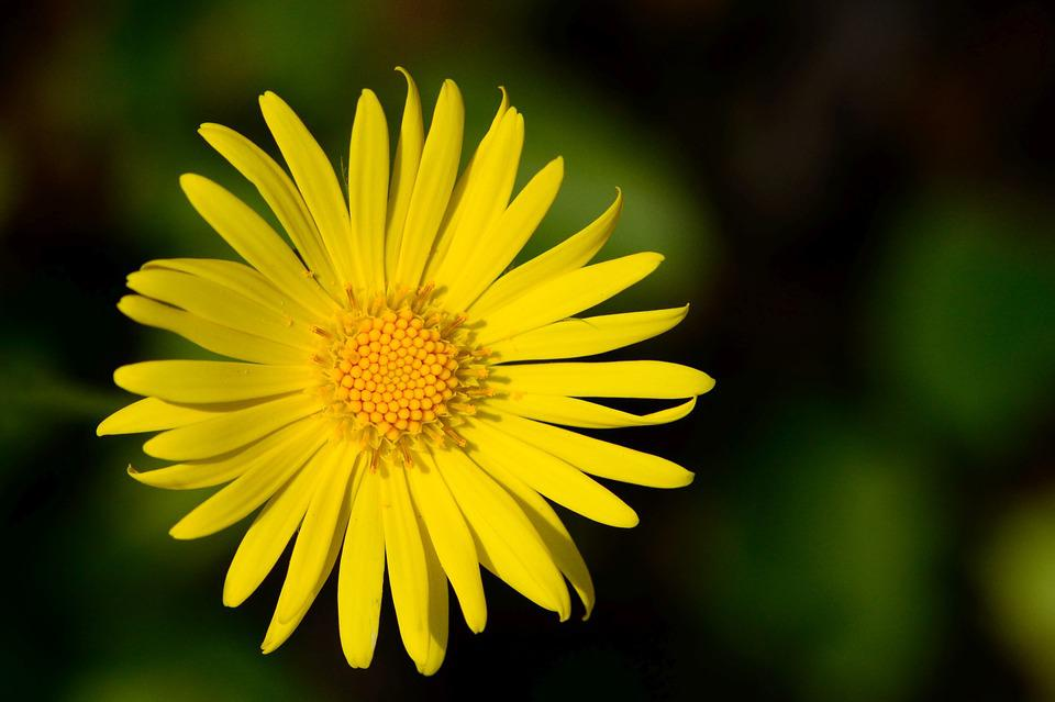 Marguerite, Flower, Blossom, Bloom, Plant, Yellow