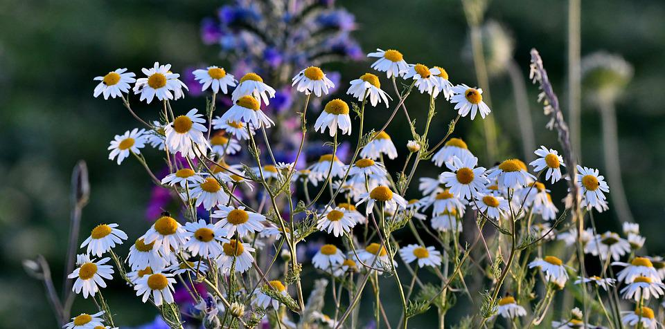 Chamomile, Plant, Nature, Meadow, Flower, Flowers