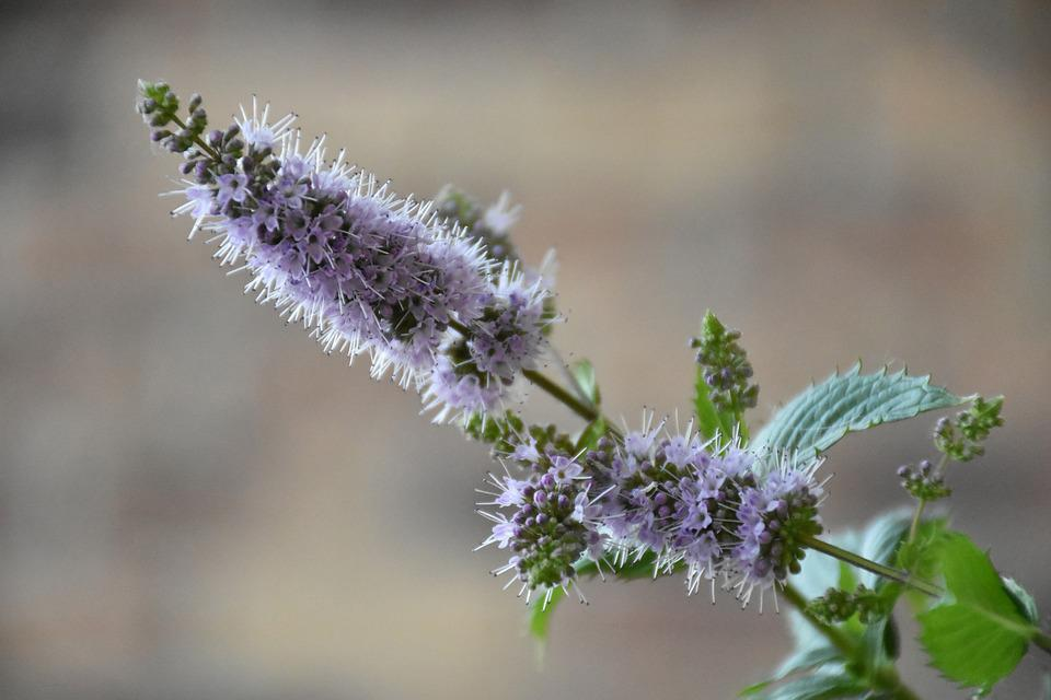 Mint, Mentha, Flower, Plant